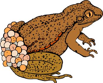 frog pregnancy test