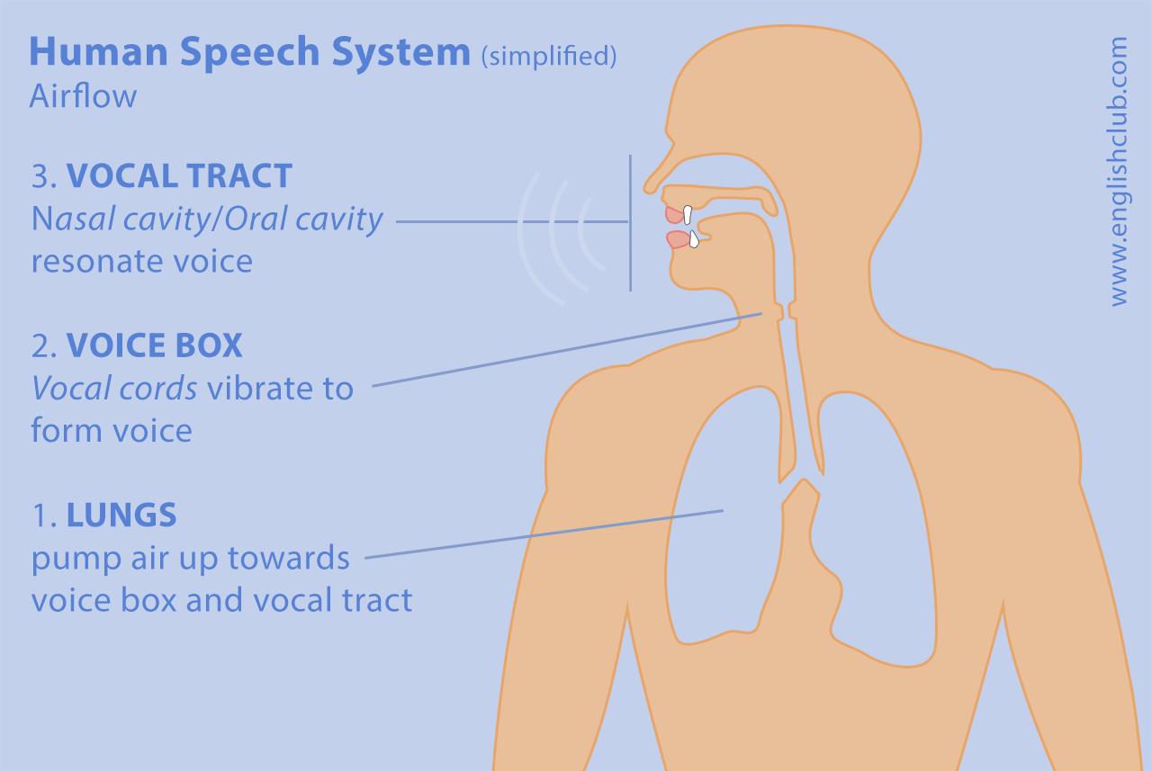 Human speech system